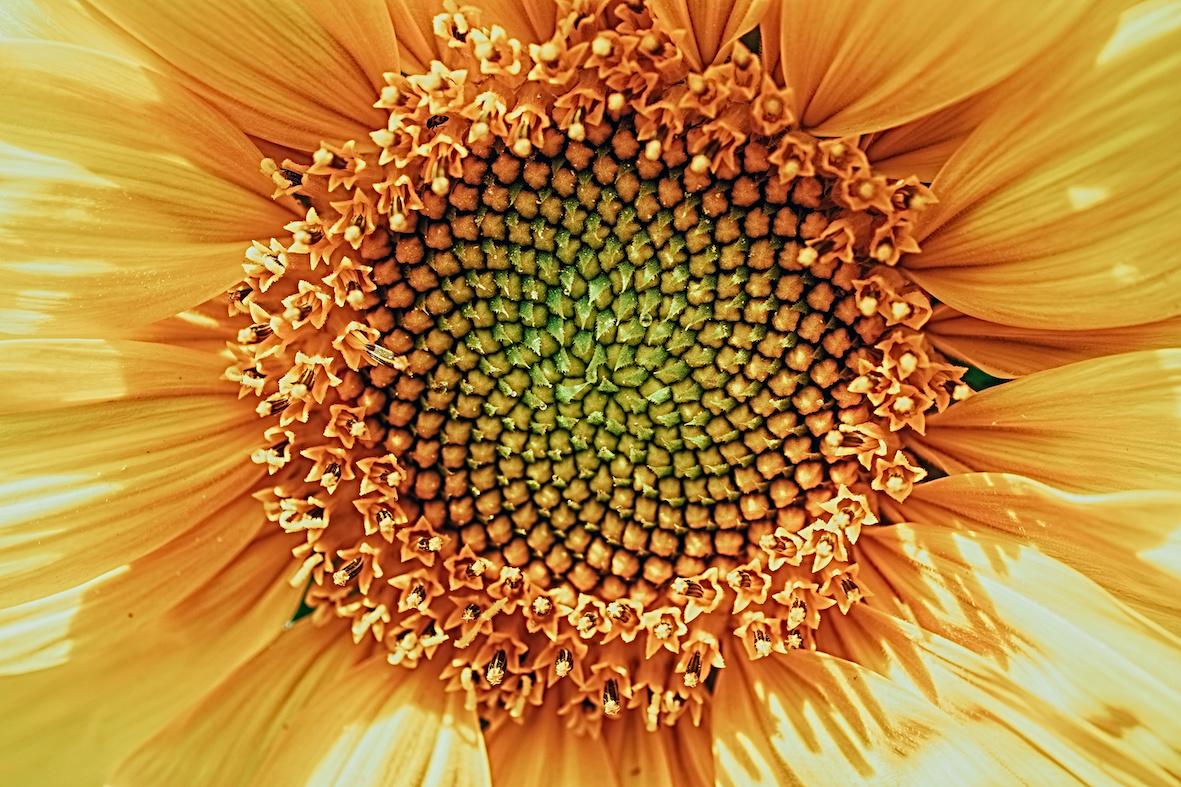 sequenza fibonacci petali intramundi