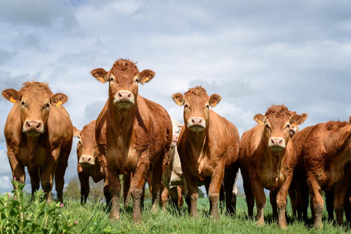 mucche intramundi