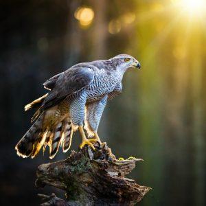 Aquila Intramundi animale guida
