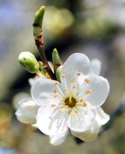 cherry plum intramundi